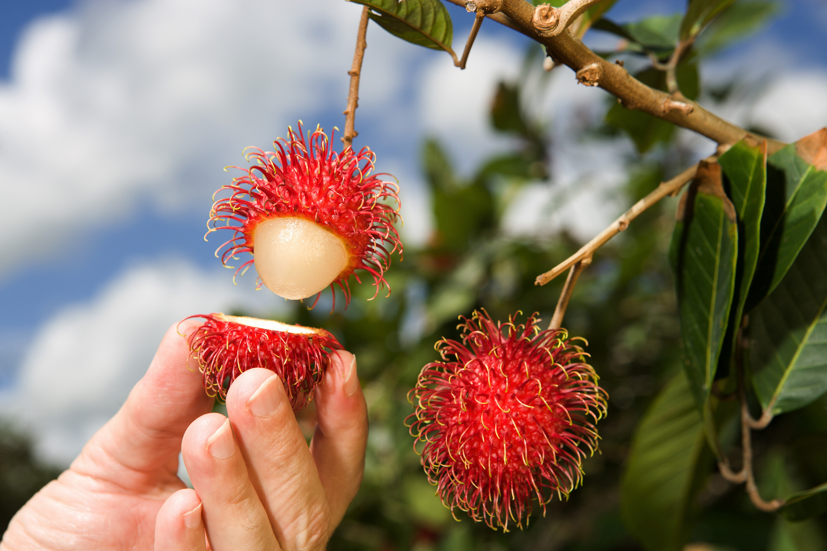 Rambutan Thai Fruit
